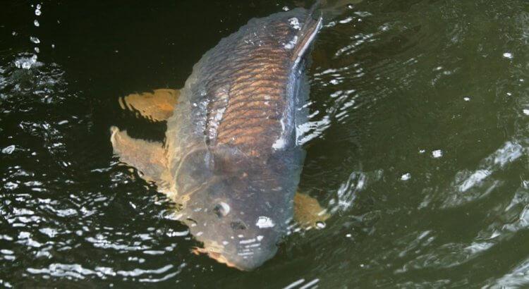 tachových kaprů chytil rybář 1400 kg